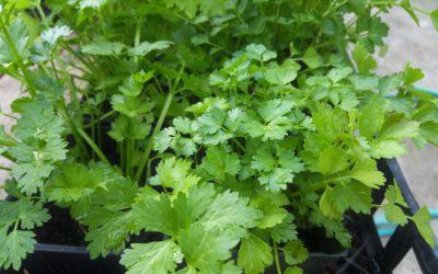 Purificar el agua con cilantro